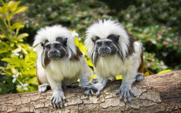 Animal Tamarin Monkeys Monkey Primate HD Wallpaper | Background Image