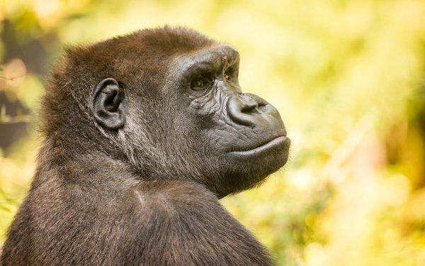 Animal Gorilla Monkeys Ape HD Wallpaper | Background Image