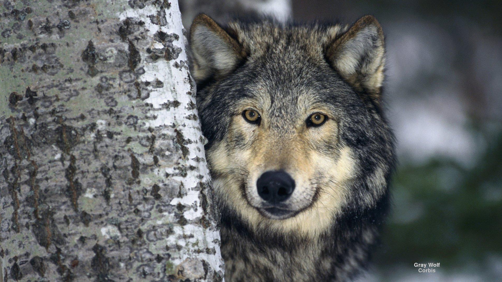 Wild Animal Wolf Wallpapers Hd 51074 Wallpaper: Gray Wolf HD Wallpaper