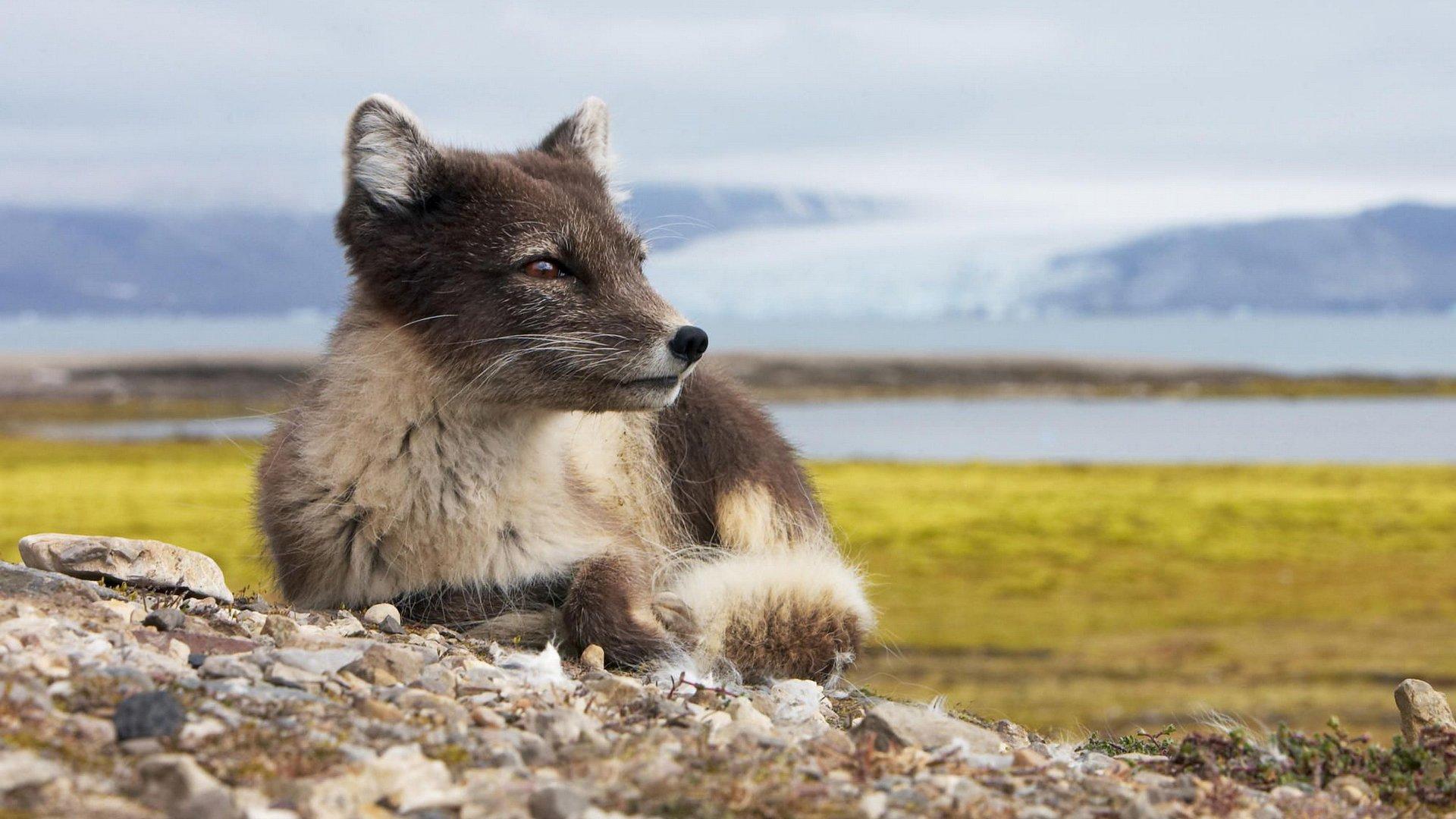 Animal - Arctic Fox  Fox Wallpaper