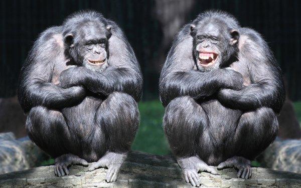 Animal Bonobo Monkeys Ape Monkey Smile HD Wallpaper | Background Image