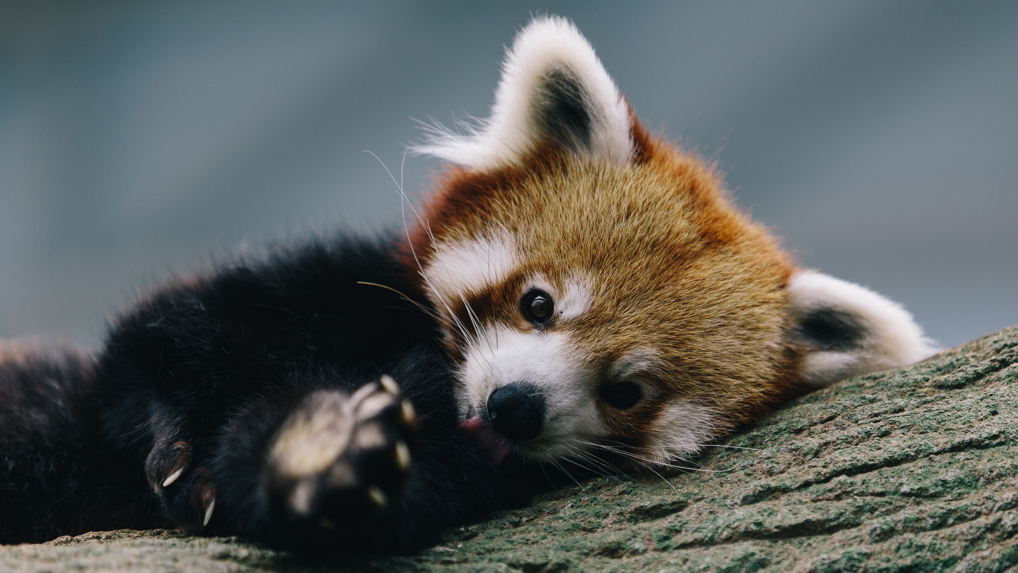 Red Panda HD Wallpaper   Background Image   2000x1125   ID ...