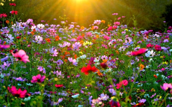 Earth Cosmos Flowers Field Colors Colorful Nature Pink Flower HD Wallpaper   Background Image