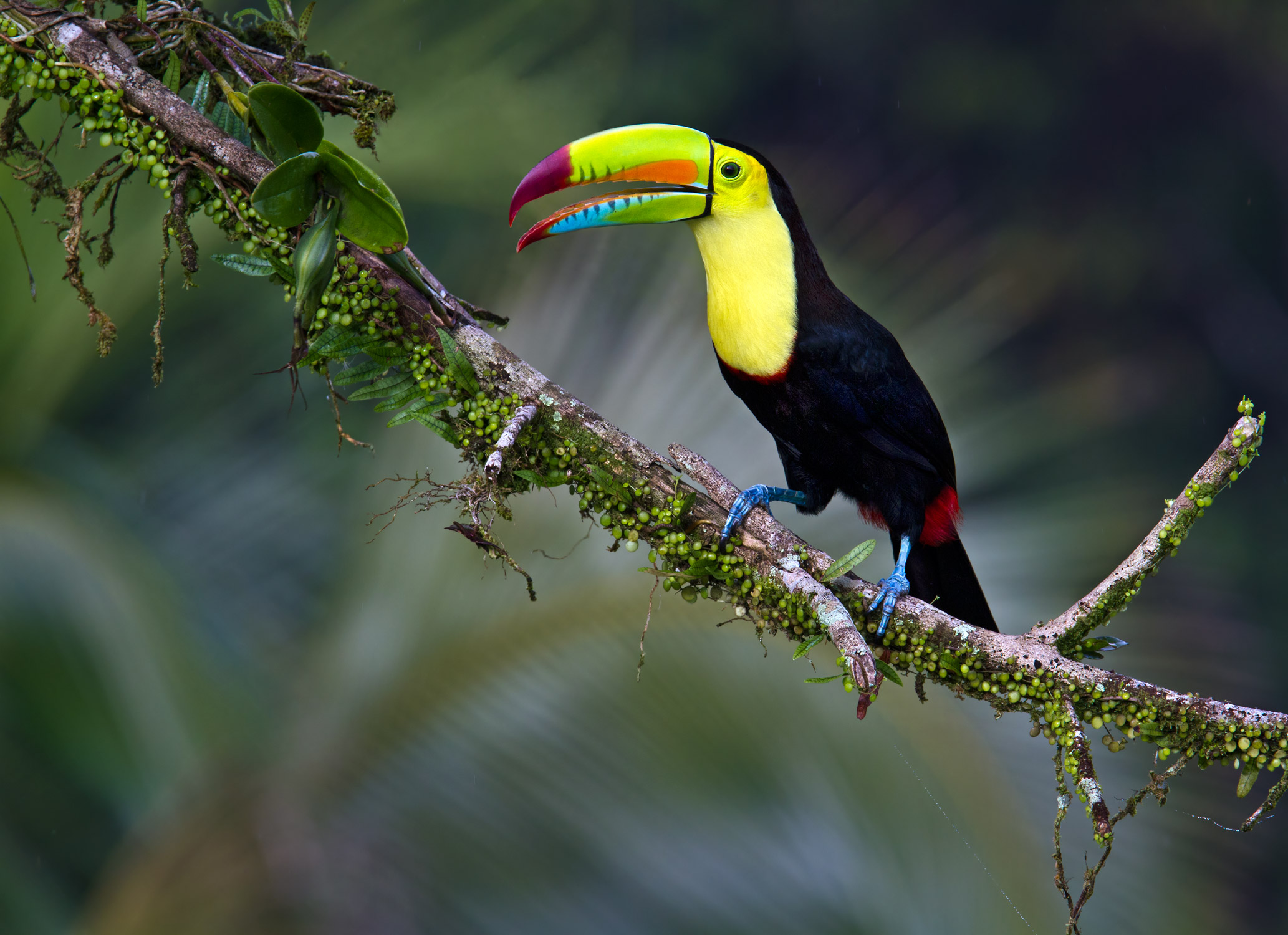 Toucan on Tree Branch HD Wallpaper | Background Image ...