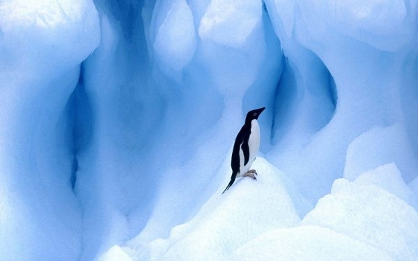 Animal Penguin Birds Penguins Adelie Penguin Bird Ice Glacier HD Wallpaper   Background Image