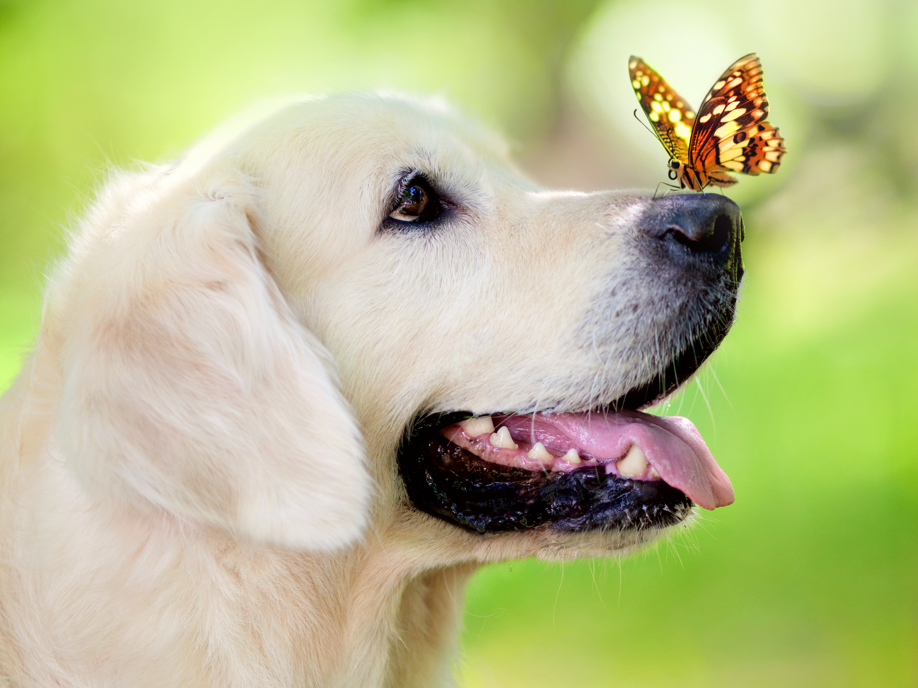 Butterfly On Dogs Nose Hd Wallpaper Background Image 3744x2808