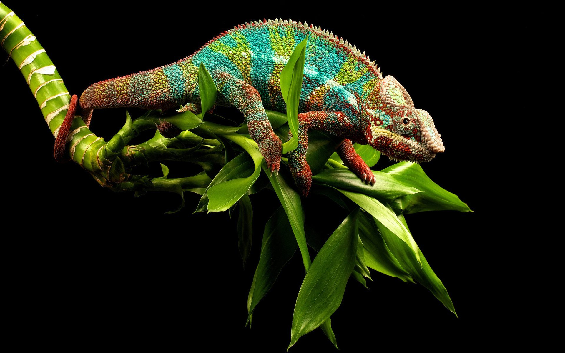 chameleon wallpaper 1920x1200 - photo #17