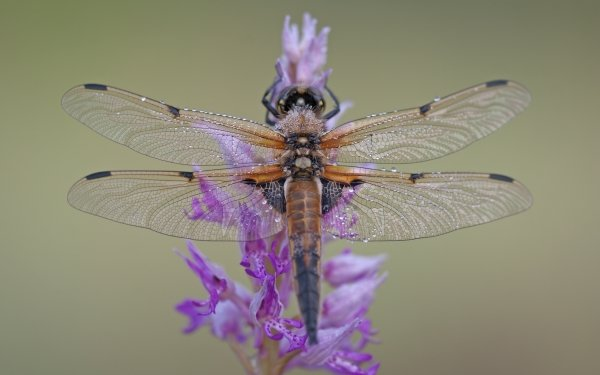 Animal Dragonfly Insects Flower Purple Flower Insect Nature Water Drop Close-Up HD Wallpaper | Background Image