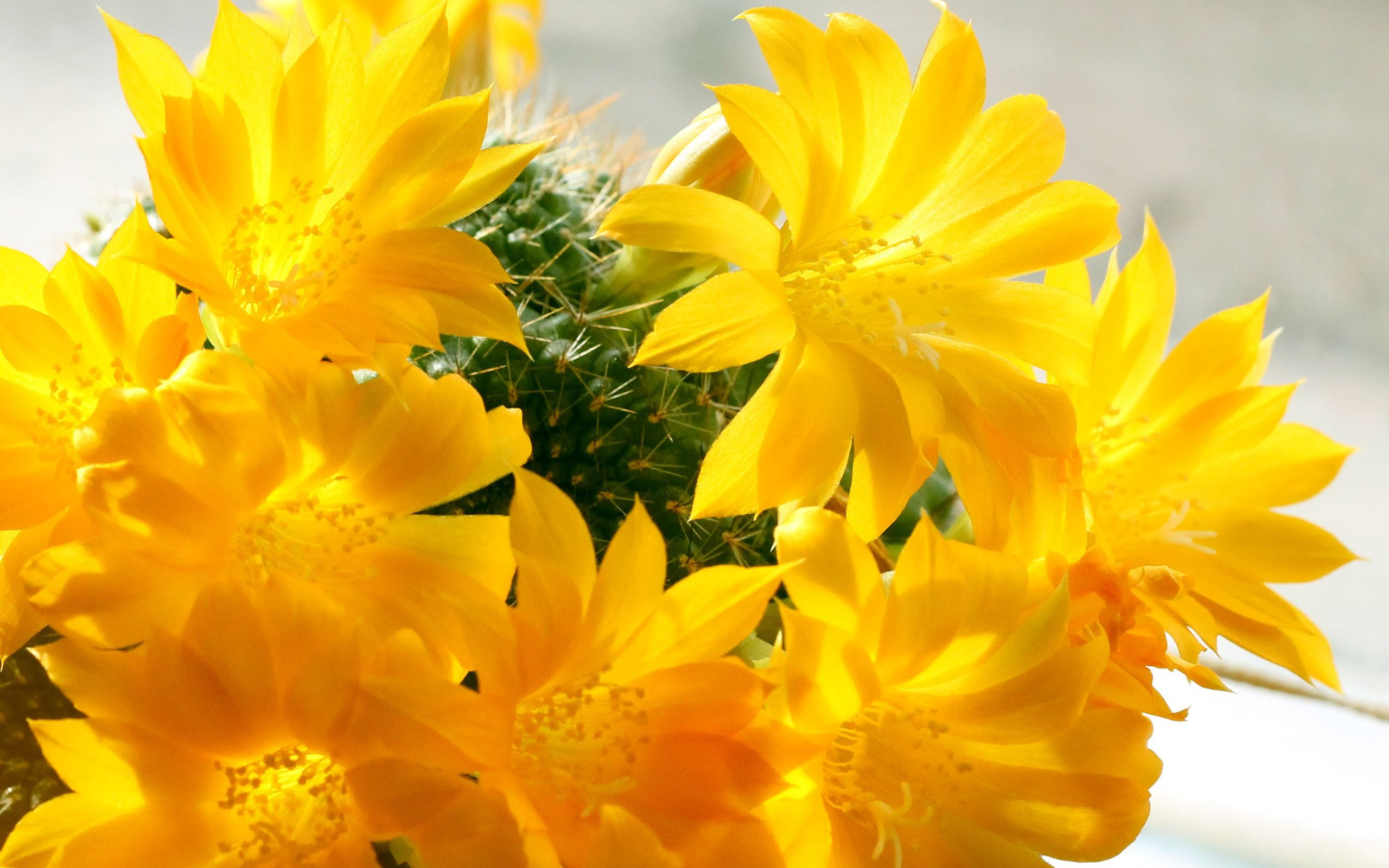 Yellow Cactus Flowers Hd Wallpaper Background Image 2560x1600