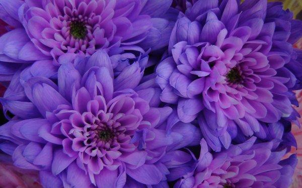 Earth Flower Flowers Daisy Dahlia Close-Up Purple Flower HD Wallpaper | Background Image