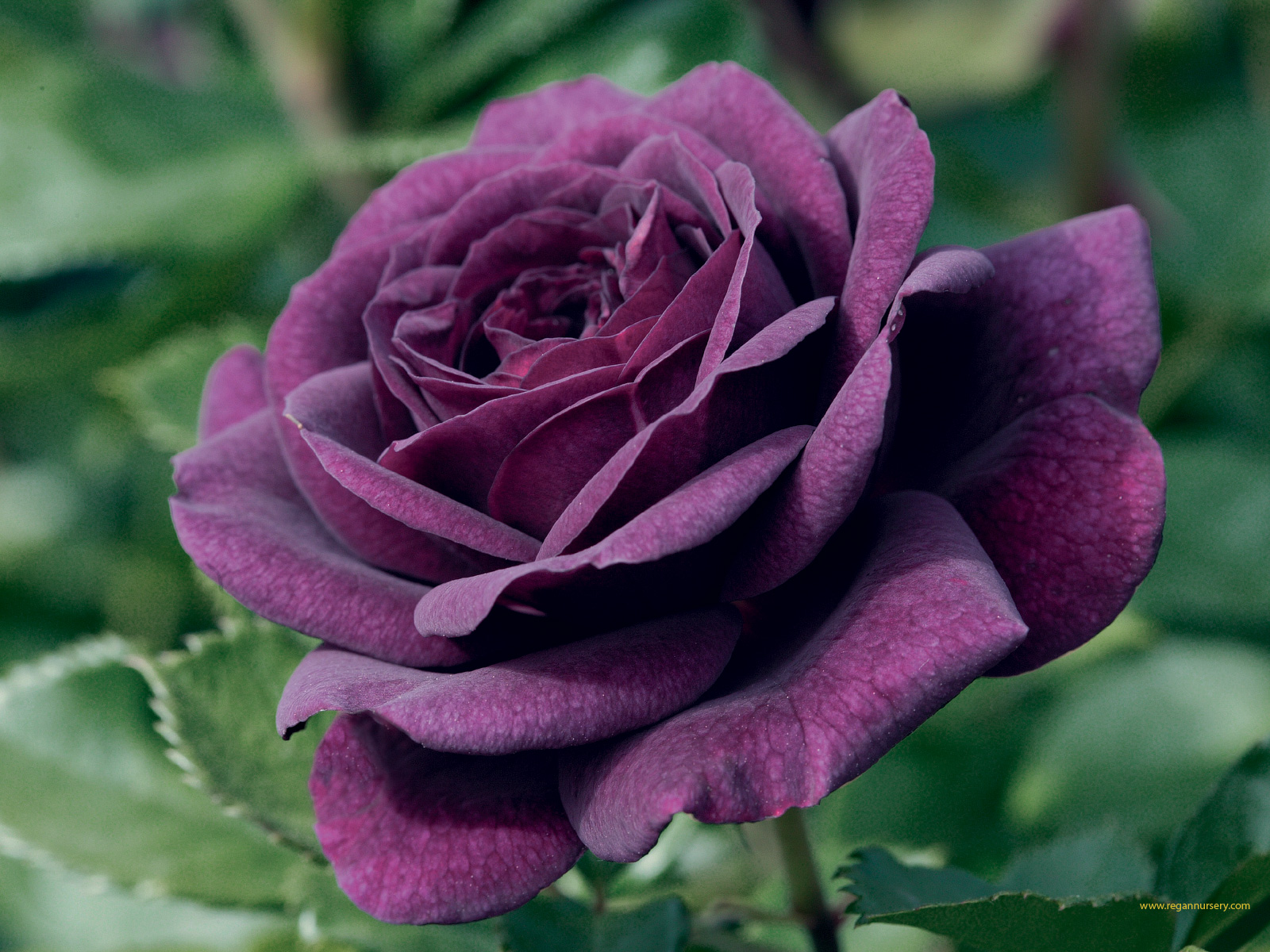 Purple Rose Wallpaper And Background Image 1600x1200 Id 691199 Wallpaper Abyss