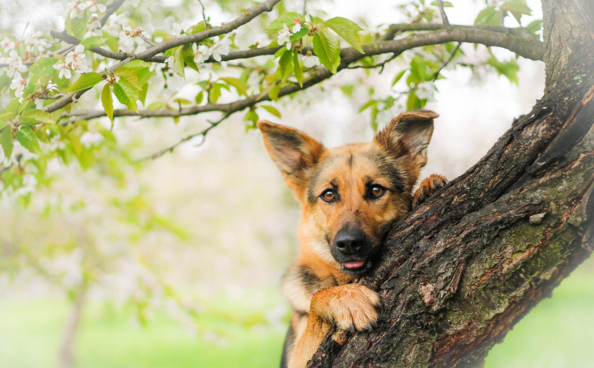 Animal - German Shepherd  Animal Dog Puppy Tree Wallpaper