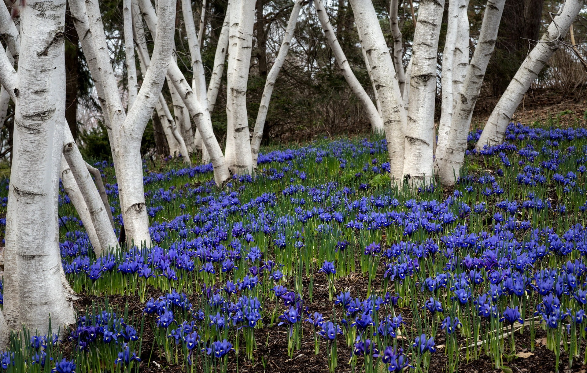 Flowers in birch forest full hd wallpaper and background image earth spring earth forest flower bluebell birch tree blue flower wallpaper izmirmasajfo Images