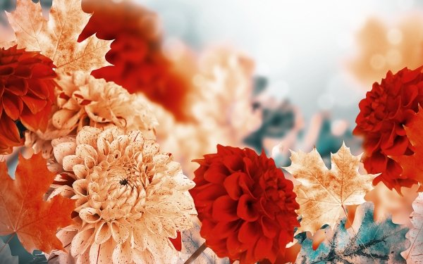 Earth Dahlia Flowers Chrysanthemum Flower Nature Leaf Red Flower White Flower HD Wallpaper   Background Image