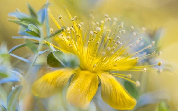 Terra/Natura Fiori Macro Natura Yellow Flower HD Wallpaper | Sfondo