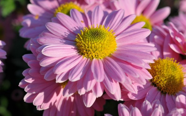 Earth Daisy Flowers Dahlia Close-Up Pink Flower HD Wallpaper | Background Image