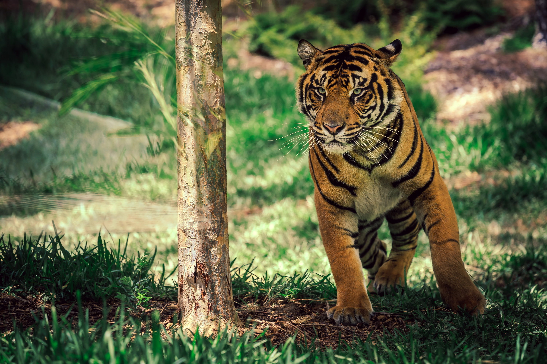 Tiger HD Wallpaper | Background Image | 3000x2000 | ID ...