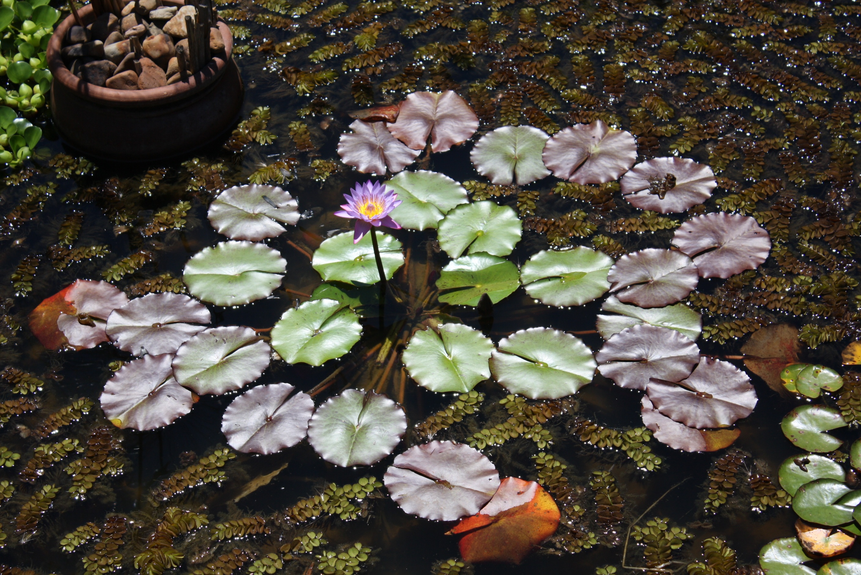 Water Lily Pads And A Single Flower In A Garden Pond Hd Wallpaper