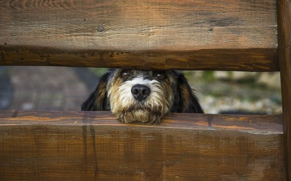 Animal Dog Dogs Pet Fence Head Muzzle HD Wallpaper   Background Image