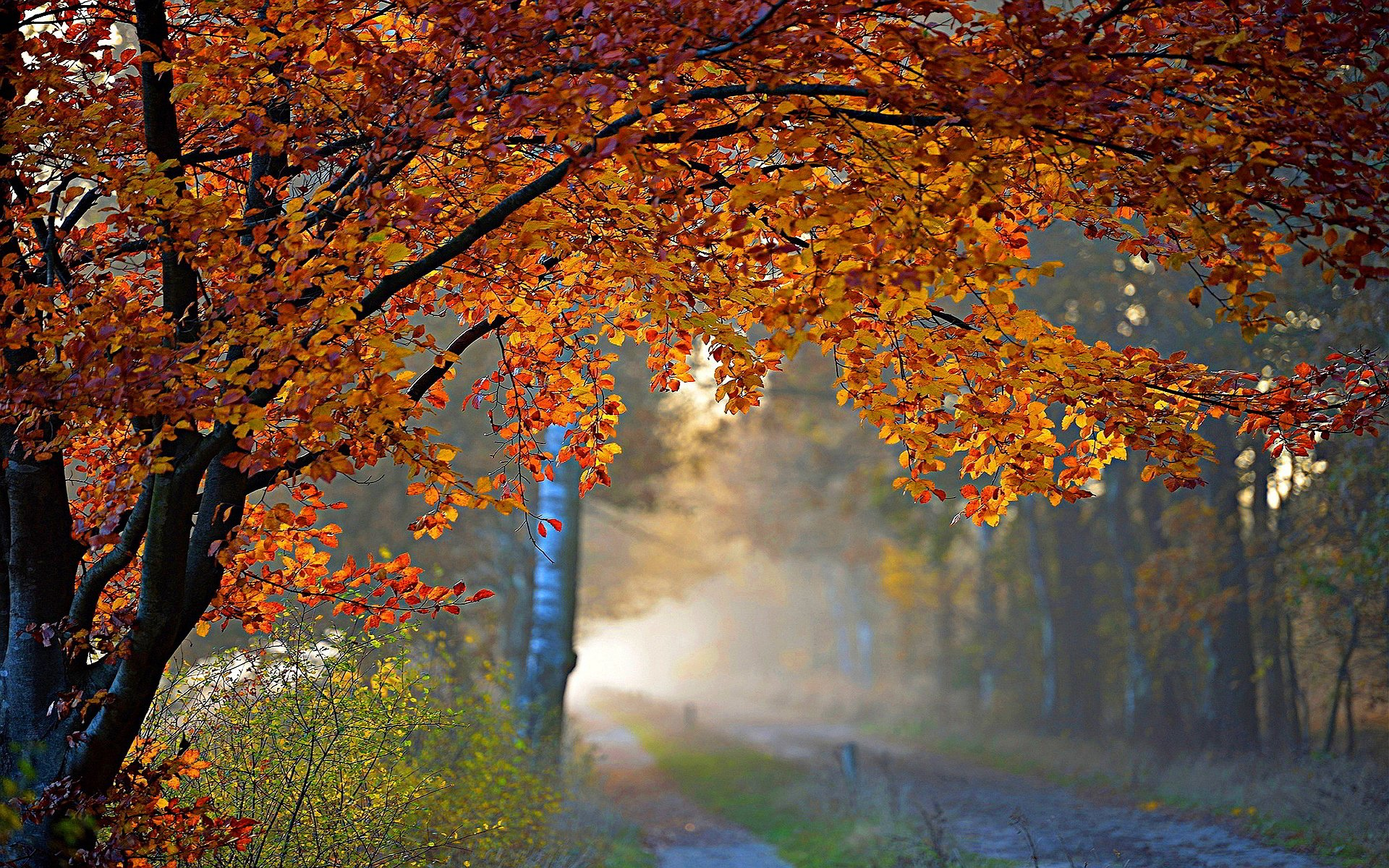 Autumn Tree Wallpaper 61 Images: Autumn Tree In Misty Forest HD Wallpaper