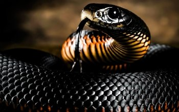 5 Red Bellied Black Snake HD Wallpapers