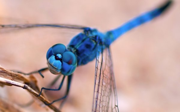 Animal Dragonfly Insects Insect Close-Up Macro Blue Wings HD Wallpaper | Background Image