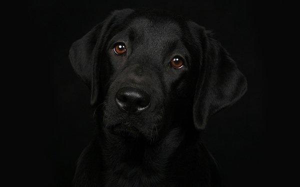 Animal Labrador Retriever Dogs Dog Face HD Wallpaper | Background Image