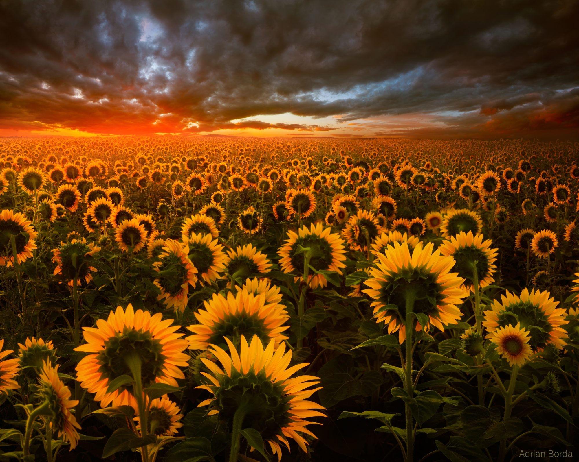 Sunflower Field at Sunset Fondo de pantalla HD   Fondo de ...
