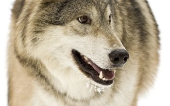 Animal - Wolf Wallpapers and Backgrounds ID : 70429