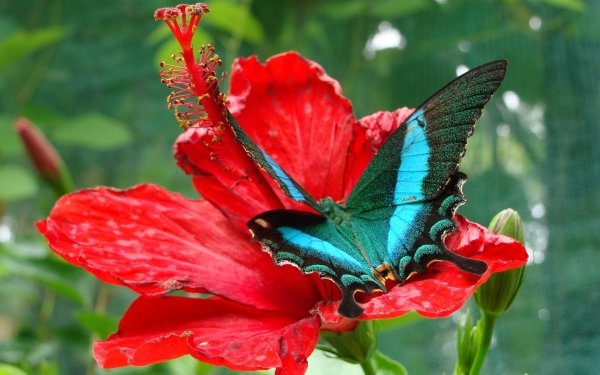 Animal Butterfly Flower Hibiscus Red Flower HD Wallpaper   Background Image