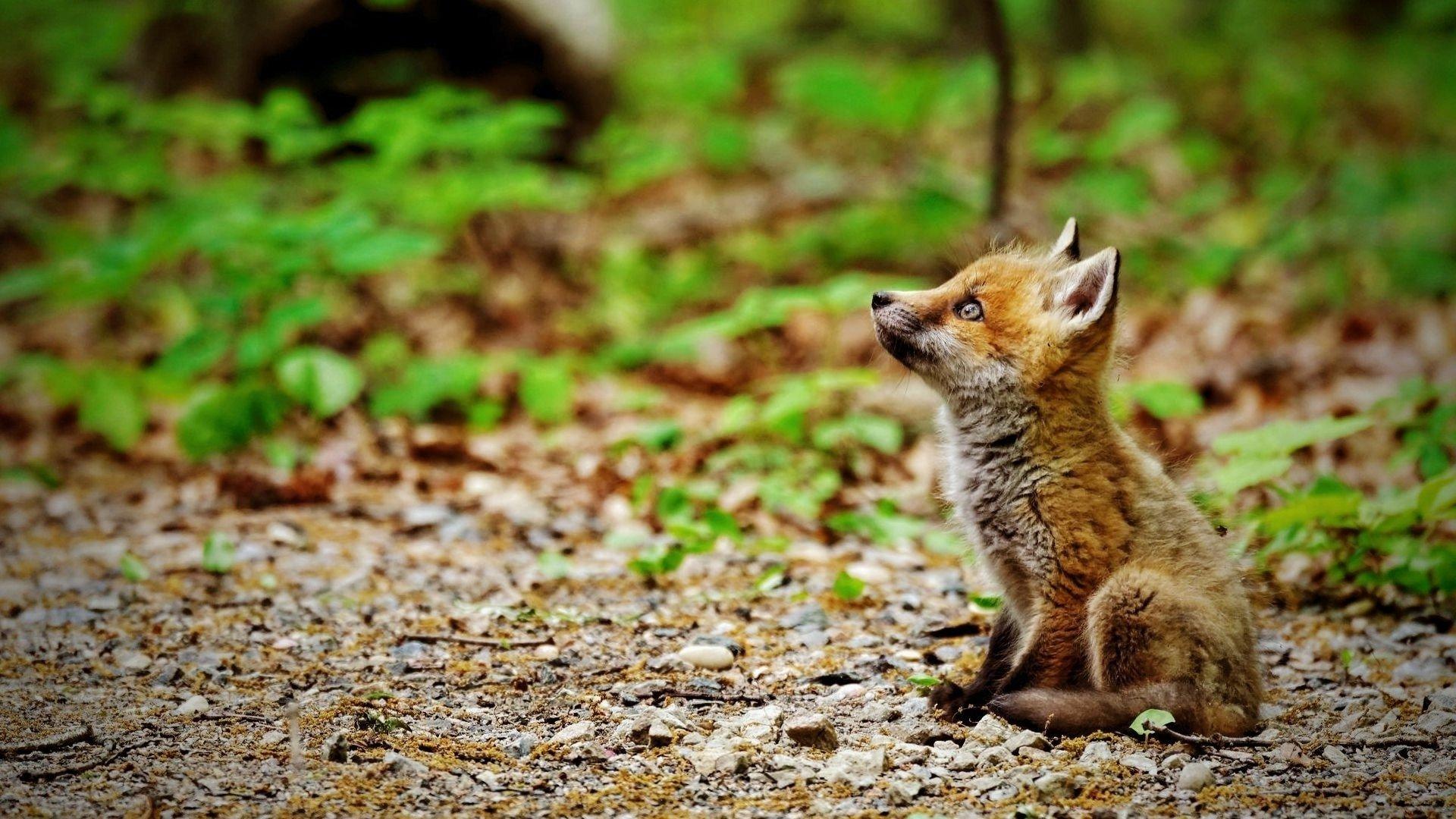 Baby Animal Wallpaper For Desktop: Fox Full HD Wallpaper And Background Image