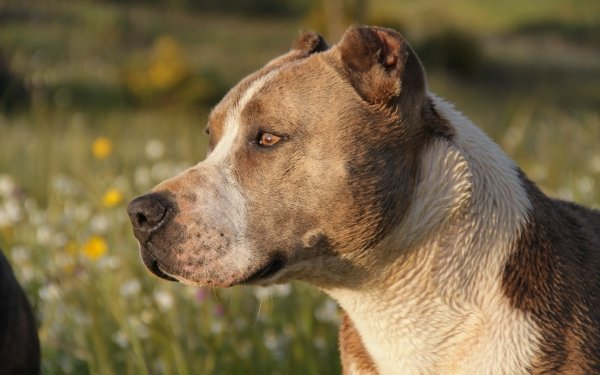 Animal American Pit Bull Terrier Dogs Pit Bull Dog Head Close-Up HD Wallpaper | Background Image