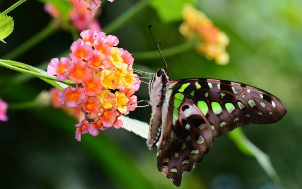 Animal Butterfly Insect Flower Colorful Swallowtail Butterfly Close-Up HD Wallpaper   Background Image