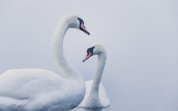Animal Mute swan Birds Swans Swan Bird HD Wallpaper | Background Image