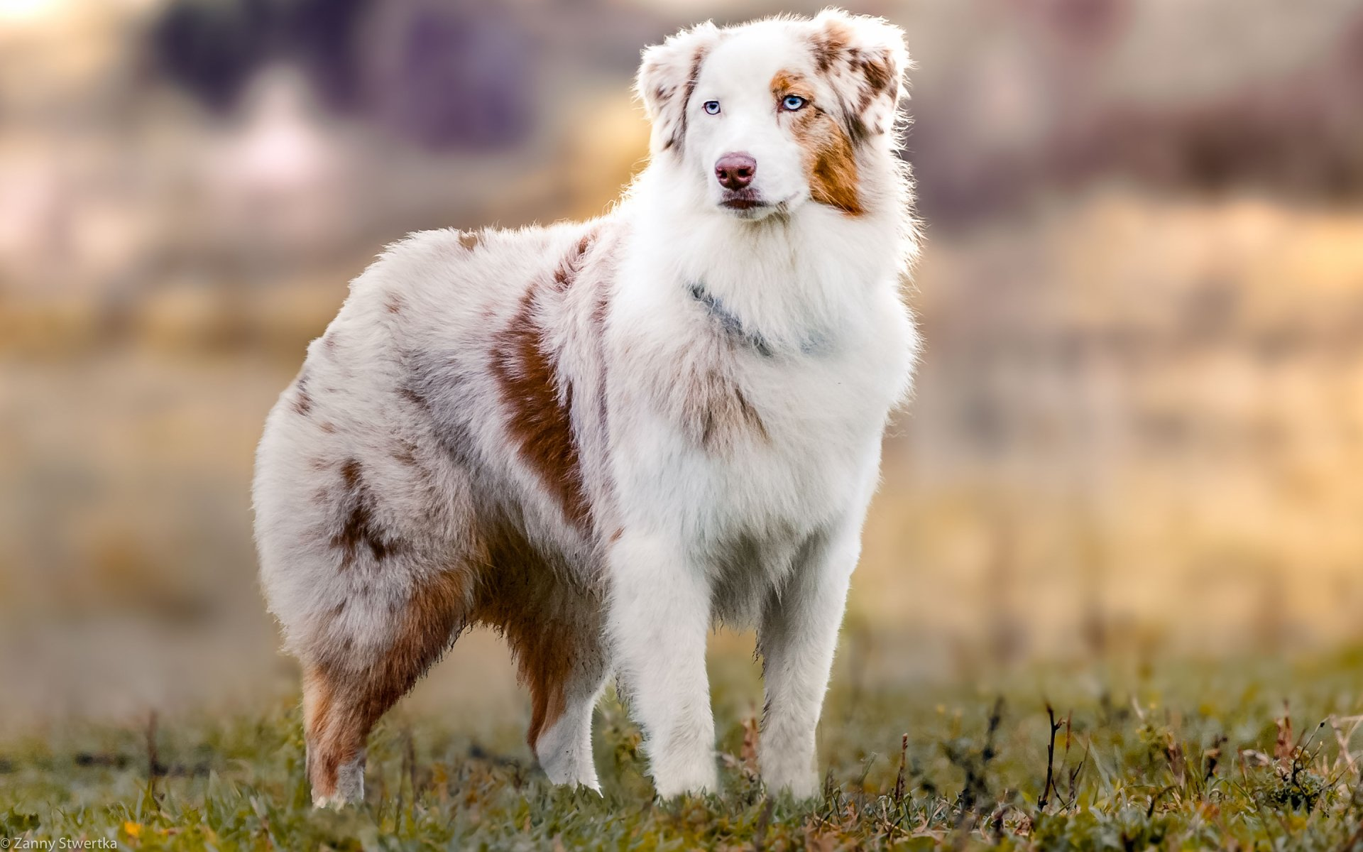 Animal - Australian Shepherd  Dog Wallpaper