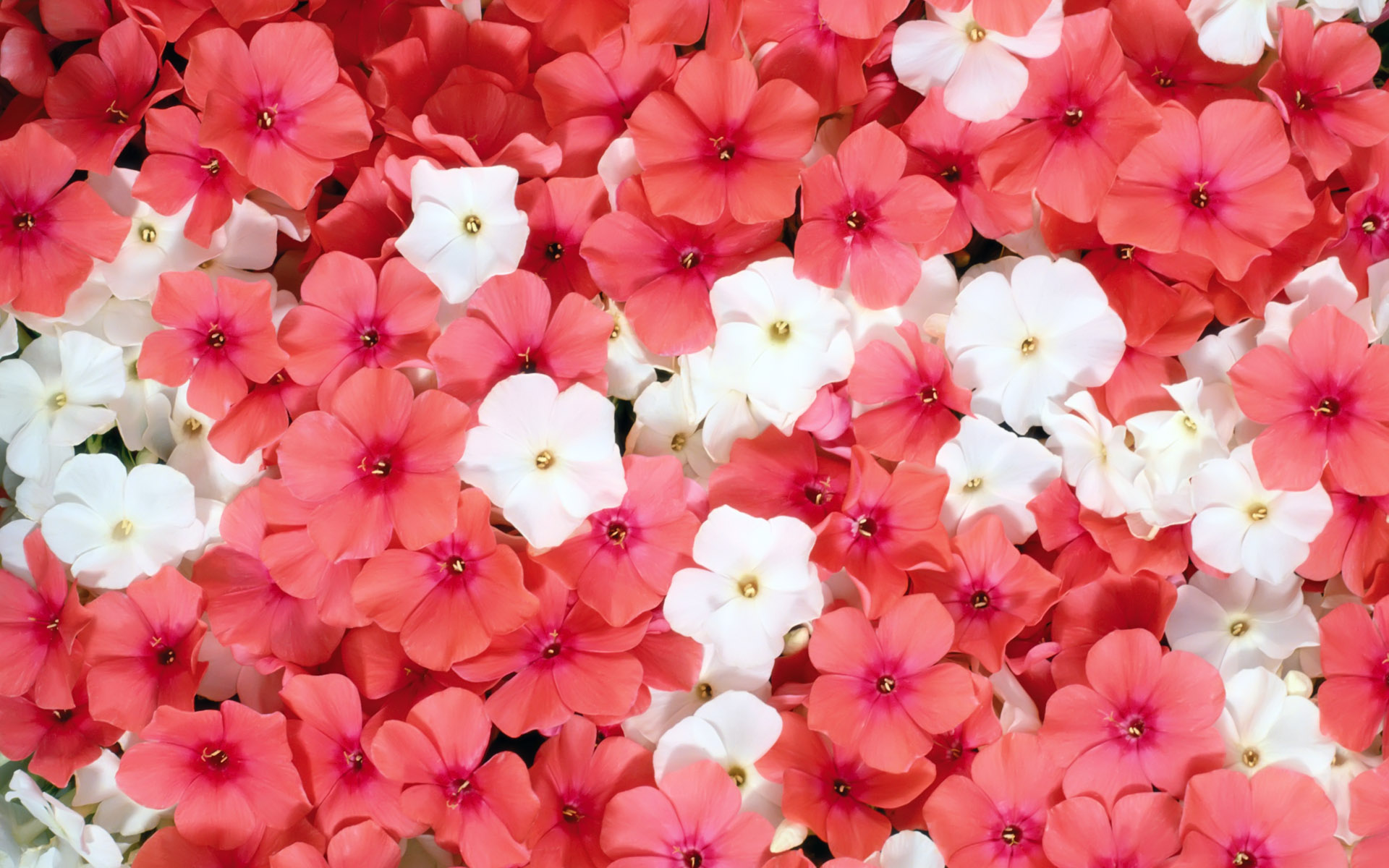 Pink And White Phlox Flowers Hd Wallpaper Background Image