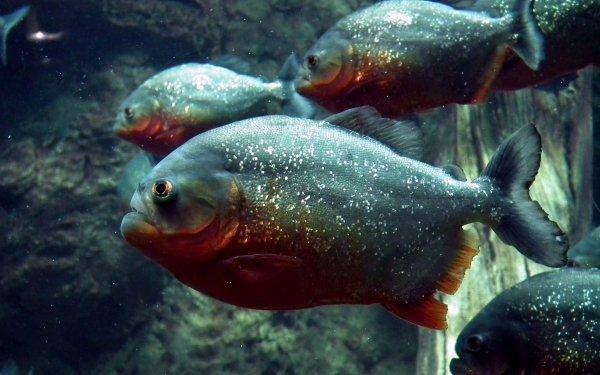 Animal Piranha Fish HD Wallpaper | Background Image