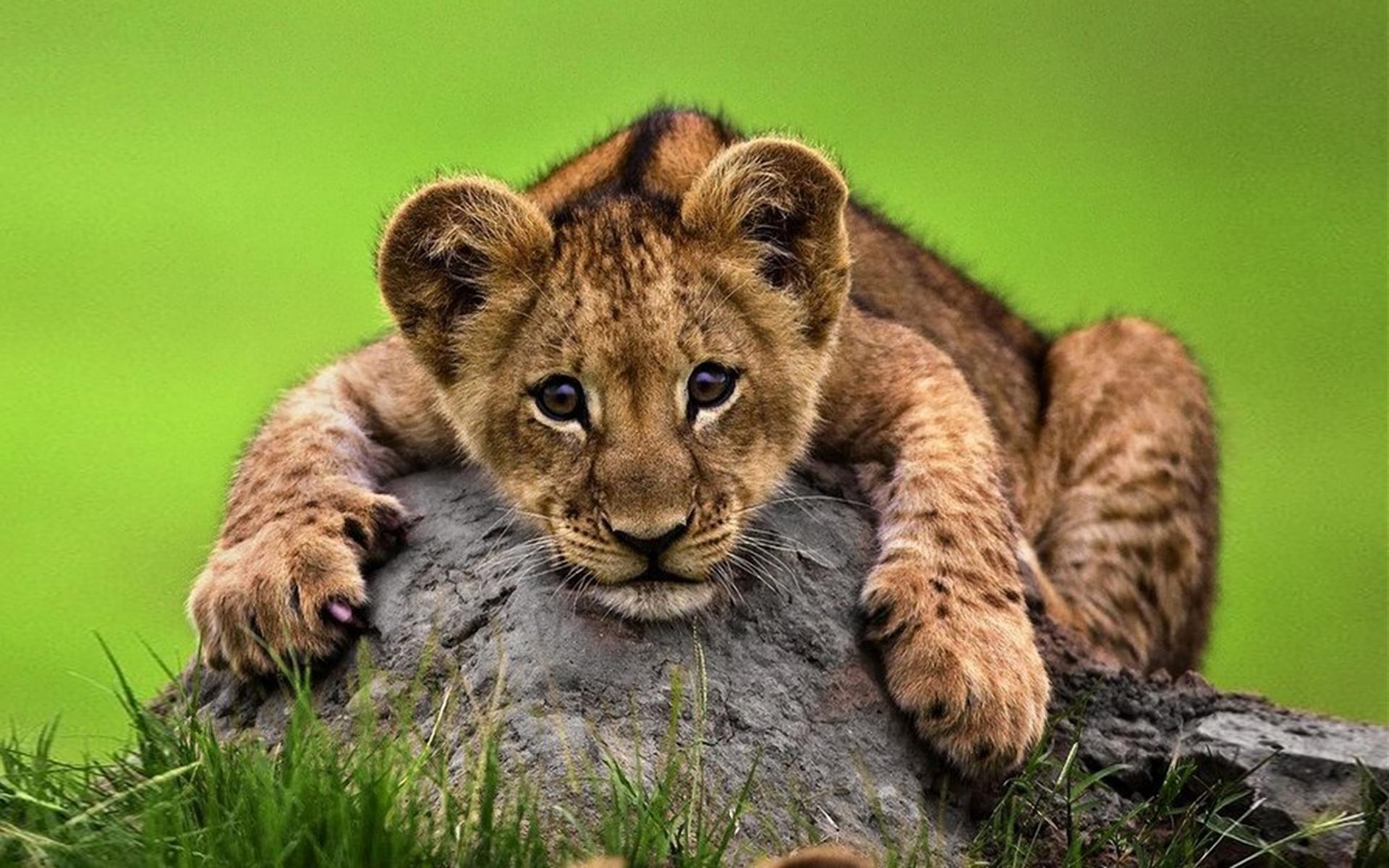 Cute Lion Cub HD Wallpaper | Background Image | 1920x1200 ...