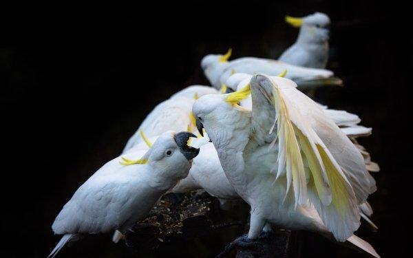 Animal Sulphur-crested cockatoo Birds Cockatoos Bird Cockatoo HD Wallpaper   Background Image