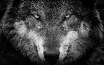 112 4k Ultra Hd Wolf Wallpapers Background Images