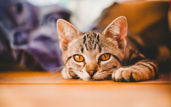 Animal Cat Cats Pet Close-Up Head Cute Lying Down HD Wallpaper   Background Image