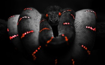 Animal - Snake Wallpapers and Backgrounds ID : 71755