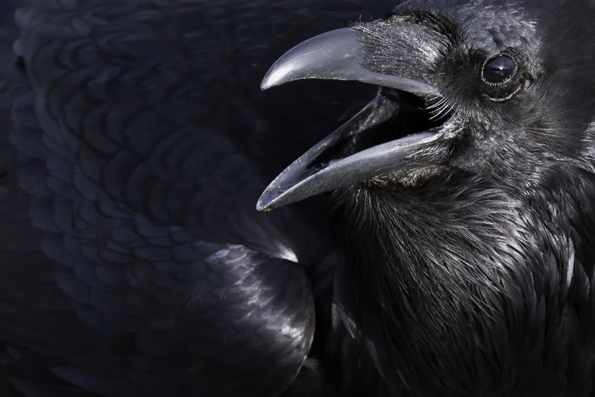 Crow Full Hd Wallpaper And Background Image 1920x1280 HD Wallpapers Download Free Images Wallpaper [1000image.com]