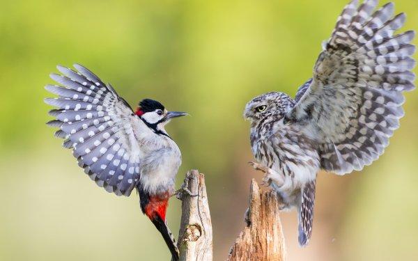 Animal Bird Birds Owl HD Wallpaper | Background Image