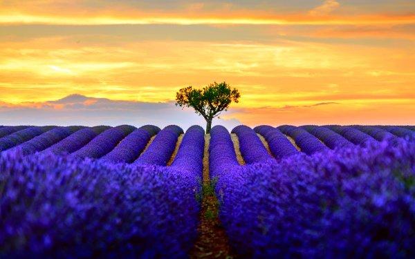 Earth Lavender Flowers Tree Lonely Tree Horizon Sunset Flower Blue Flower Sky HD Wallpaper | Background Image