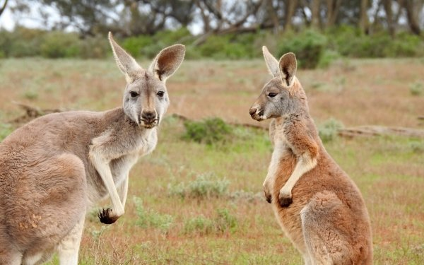 Animal Kangaroo Australia Wildlife Marsupial HD Wallpaper   Background Image