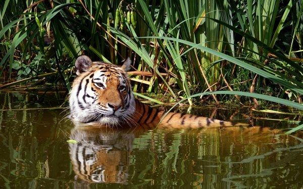 Animal Tiger Cats predator Big Cat Reflection Water HD Wallpaper   Background Image