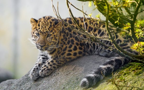 Animal Leopard Cats Amur Leopard Big Cat predator HD Wallpaper | Background Image