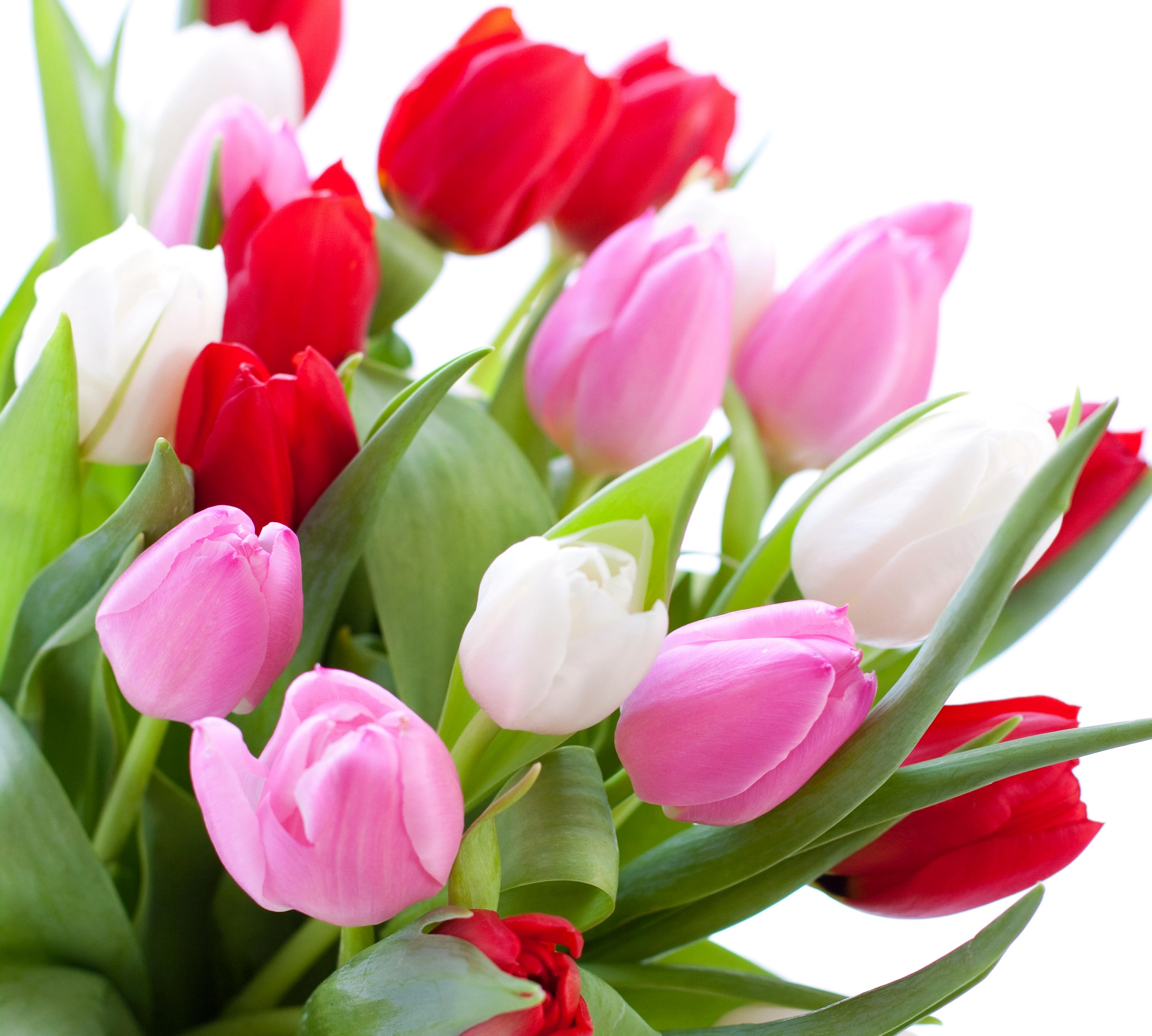 Tulip Wallpaper: Tulip 4k Ultra HD Wallpaper