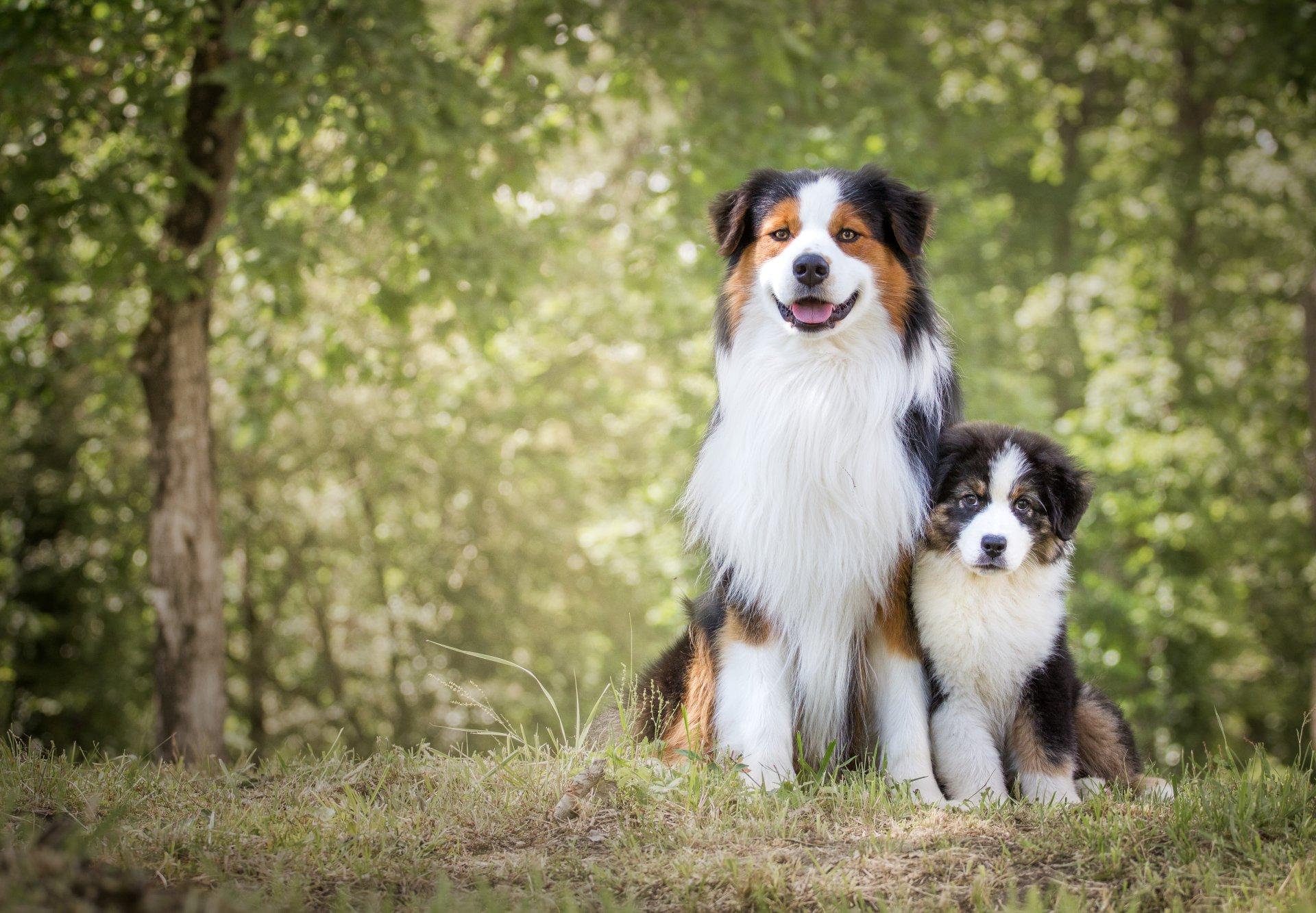 Animal - Australian Shepherd  Animal Dog Puppy Wallpaper
